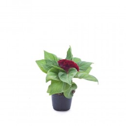 نبتة Celosia cristata red