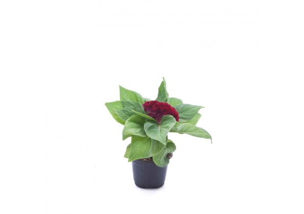 Celosia cristata red