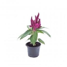نبتة Celosia kimono purple
