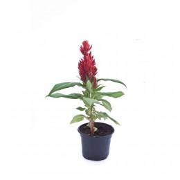 نبتة Celosia kimono red