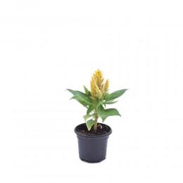 نبتة Celosia kimono yellow