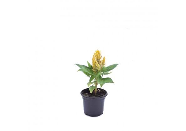 Celosia kimono yellow