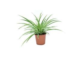 نبتة Chlorophytum comosum variegatum