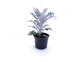نبتة Cineraria silver dust