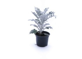 Cineraria silver dust
