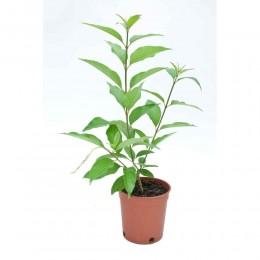 نبتة Citharexylum quadrangulare