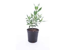 نبتة Conocarpus lancifolius