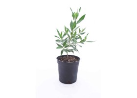 Conocarpus lancifolius