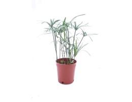 نبتة Cyperus alternifolius