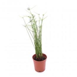 نبتة Cyperus papyrus
