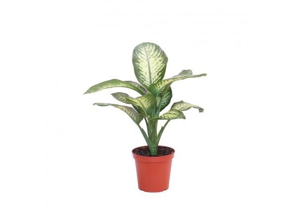 نبتة Dieffenbachia