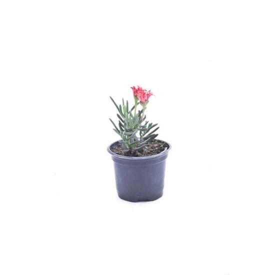 نبتة Drosanthemum hispidium purple