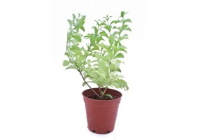 Duranta repens blue