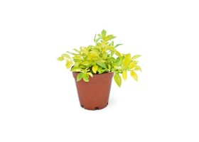 Duranta repens gold