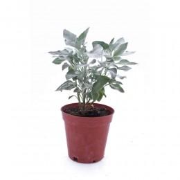نبتة Encelia farinose