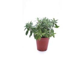 Eranthemum  hybrid prostate