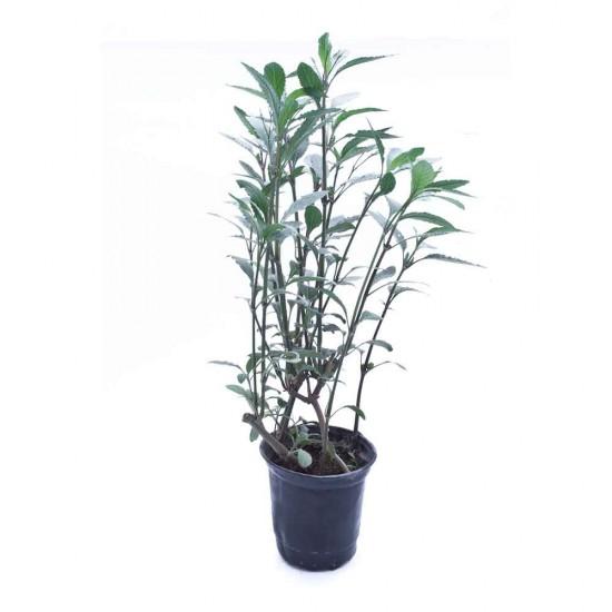 نبتة Eranthemum hybrid tall blue