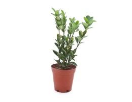 نبتة Euonymus japonicas