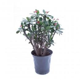 نبتة Euphorbia milii large leaf