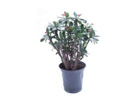 Euphorbia milii large leaf