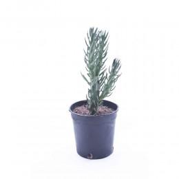 نبتة Euphorbia sabulata