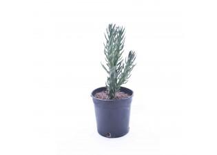 Euphorbia sabulata