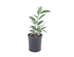 نبتة Ficus altissima