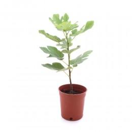 نبتة Ficus carica