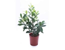 نبتة Ficus nitida golden