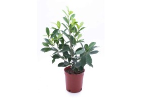 Ficus nitida golden