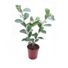 نبتة Ficus retusa