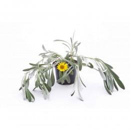 نبتة Gazania uniflora