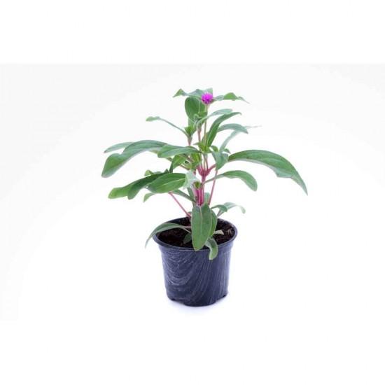 نبتة Gomphrena buddy purple