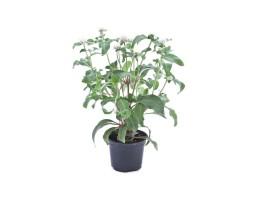 نبتة Gomphrena buddy white
