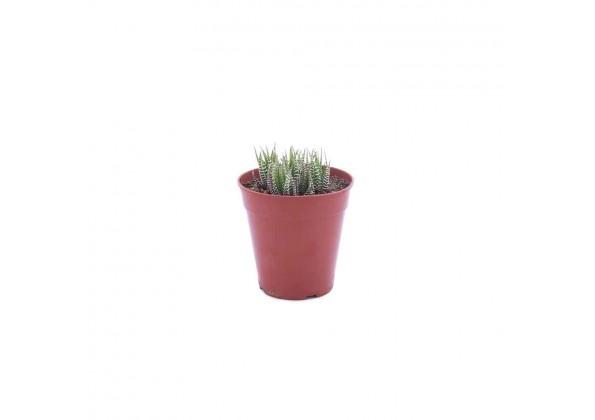 نبتة Haworthia fasciata