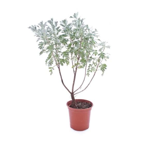 نبتة Helicrysum silver wonder