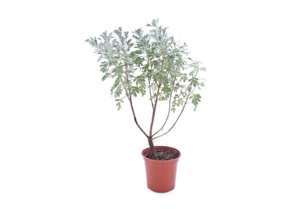 Helicrysum silver wonder