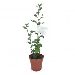 نبتة Hibiscus rls white
