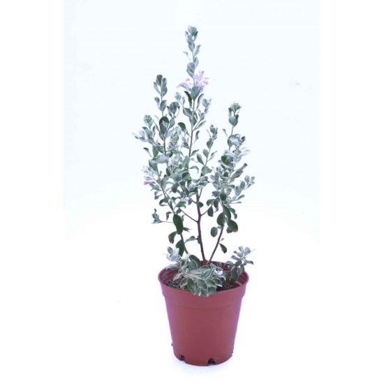 نبتة Leucophylum frutescens