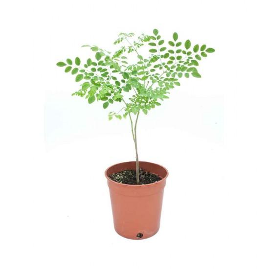 نبتة Moringa olifera