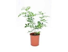 نبتة Murraya exotica