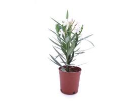 نبتة Nerium oleandar pink