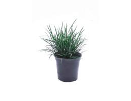 نبتة Ophiopogon japonicas