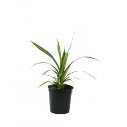 نبتة Pandanus