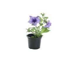 نبتة Petunia blue
