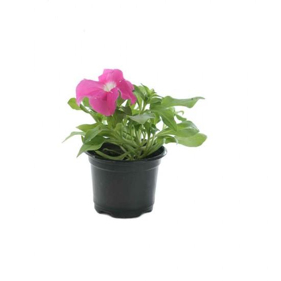 نبتة Petunia Pink