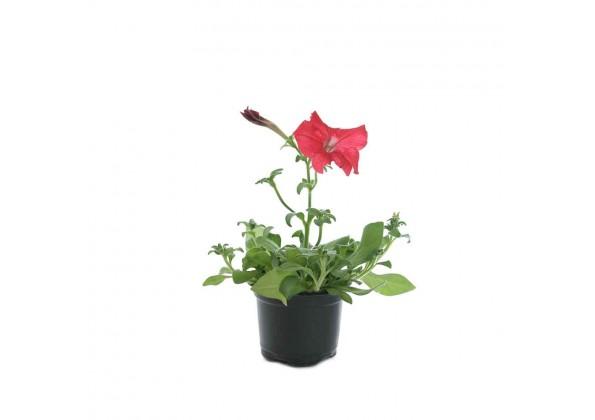 نبتة Petunia Red
