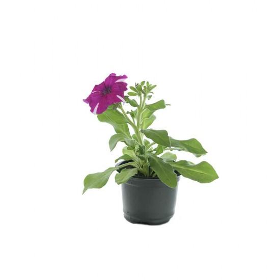 نبتة Petunia Rose