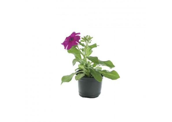 Petunia Rose