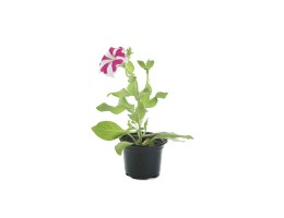 نبتة Petunia star